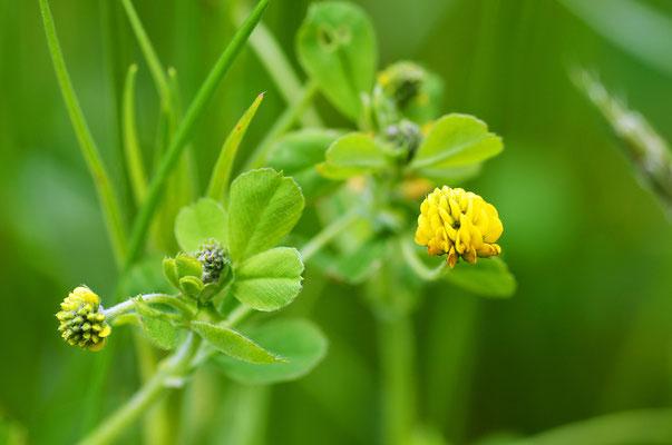 Der Feld-Klee wächst bevorzugt auf mageren Wiesen. Foto: Sandra Borchers