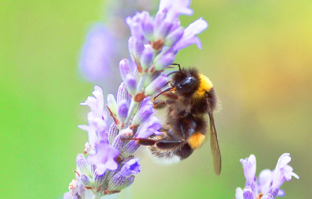 Hummel am Lavendel: Augen- und Rüsselstudie...Foto: Sandra Borchers