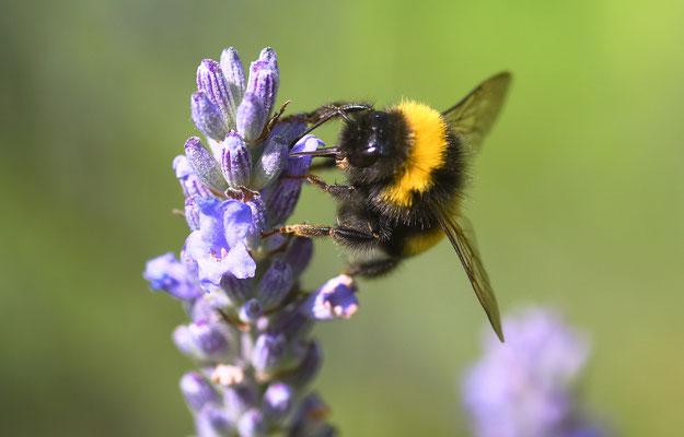 Hummel am Lavendel I; Foto: Sandra Borchers
