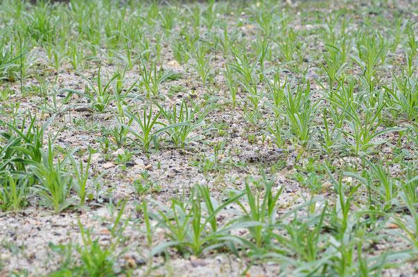 Im Nachhinein wurde deutlich, dass es sich bei der  hier dominanteste Pflanze um die Kornrade (Agrostemma githago) handelt. Foto: Sandra Borchers