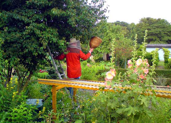 """Hier sieht man zwar nicht das Tier, man kann es sich aber denken: Im Juli 2009 """"wanderte"""" ein Bienenvolk durch einige Gärten auf der Suche nach einer neuen Heimat - wir riefen den Imker zu Hilfe, der ihnen ein neues Zuhause anbieten konnte. Foto: Borchers"""