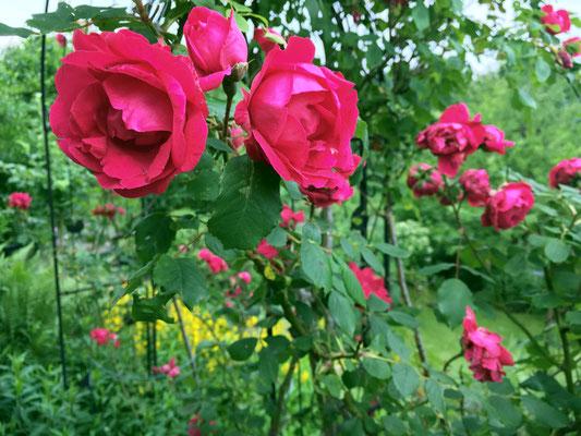 Auch ein tolles Rosen-Jahr war 2018 Foto: Sandra Borchers