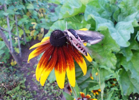 Der Ligusterschwärmer ist in der Dämmerung aktiv und fliegt duftende Blüten an. Foto: Sandra Borchers