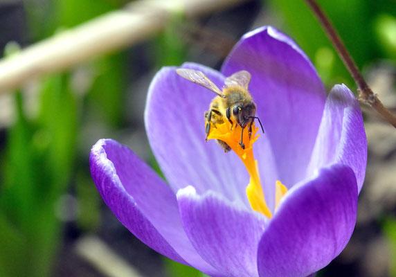 Die erste Biene wurde gesichtet! (01.03.2012) Foto: Sandra Borchers
