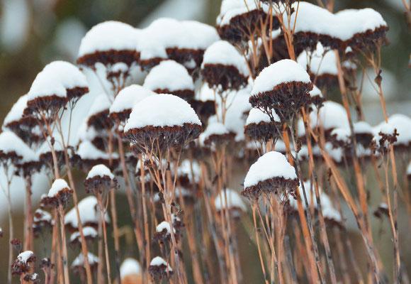Sehr kleidsam: Mit Schneehaube sehen die Blütenstände der Fetthenne richtig toll aus! Foto: Sandra Borchers