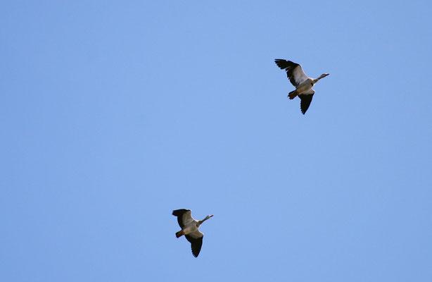 Und während man so durch die Anlage spaziert, fliegen - dank der Nähe zum Hangeweiher - ein paar Nilgänse über einen hinweg...Foto: Sandra Borchers