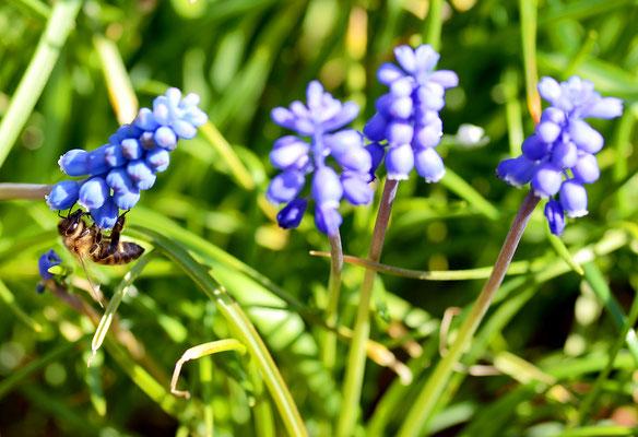 Die Traubenhyazinthen sind bei den Insekten sehr beliebt. Foto: Sandra Borchers