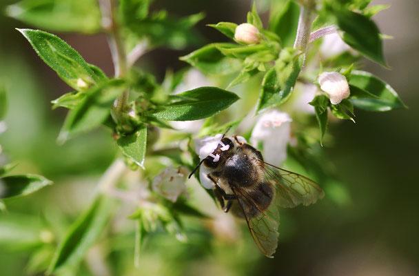 Biene am Bohnenkraut I - gut zu erkennen die zwei Staubblätter der Blüte;  Foto: Sandra Borchers