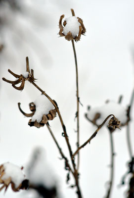 Auch der Samen der Ringelblume ist Vogelfutter. Foto: Sandra Borchers