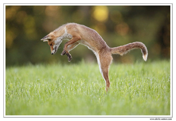 Photo Renard_61 (Renard roux -Vulpes vulpes - Red Fox)