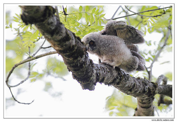 Photo 24 (Hibou moyen-duc - Asio otus - Long-eared Owl)