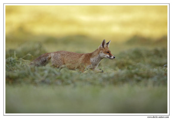 Photo Renard_73 (Renard roux -Vulpes vulpes - Red Fox)