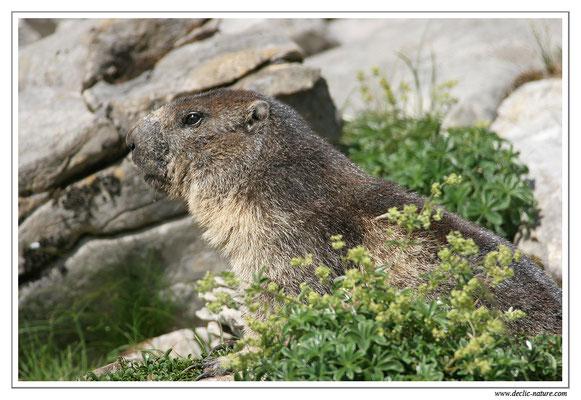 Photo Marmotte_M9