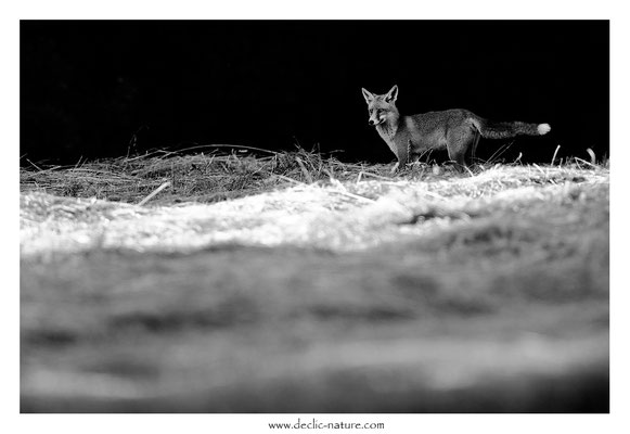 Photo Renard_191 (Renard roux -Vulpes vulpes - Red Fox)