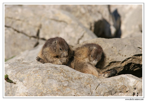 Photo Marmotte_M27