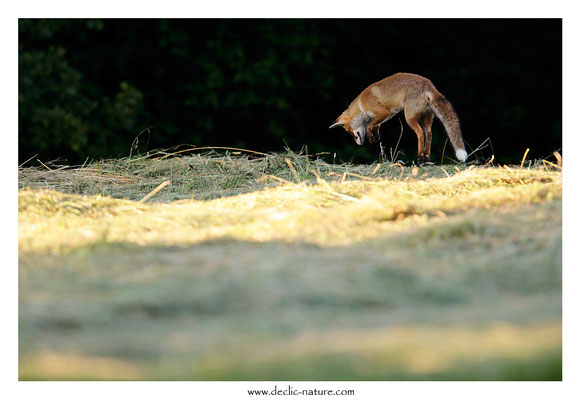 Photo Renard_192 (Renard roux -Vulpes vulpes - Red Fox)