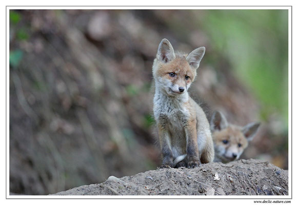 Photo Renard_88 (Renard roux -Vulpes vulpes - Red Fox)