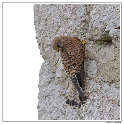 Photo 19 (Faucon crécerelle - Falco tinnunculus - Common Kestrel)