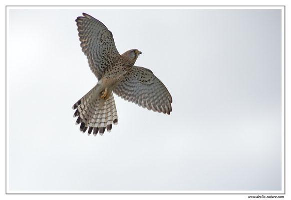 Photo 34 (Faucon crécerelle - Falco tinnunculus - Common Kestrel)