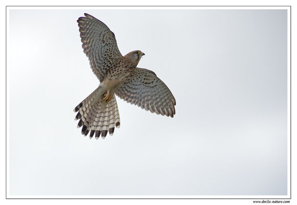 Photo 34 (Faucon crécerelle - Falco tinnunculus - Common Kestrel)