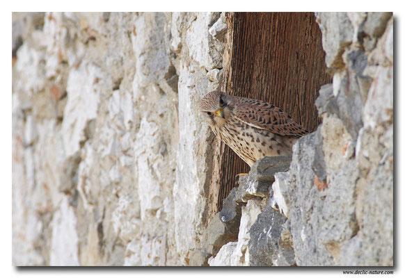 Photo 29 (Faucon crécerelle - Falco tinnunculus - Common Kestrel)