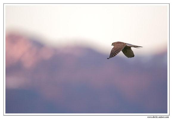 Photo 41 (Faucon crécerelle - Falco tinnunculus - Common Kestrel)