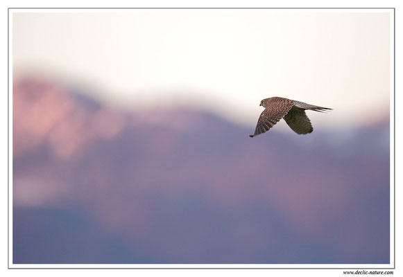 Photo 41 (Faucon crécerelle - Falco tinnunculus - Common Kestrel)