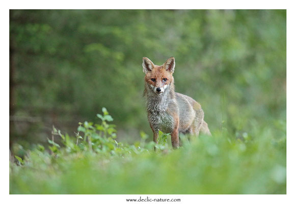Photo Renard_141 (Renard roux -Vulpes vulpes - Red Fox)