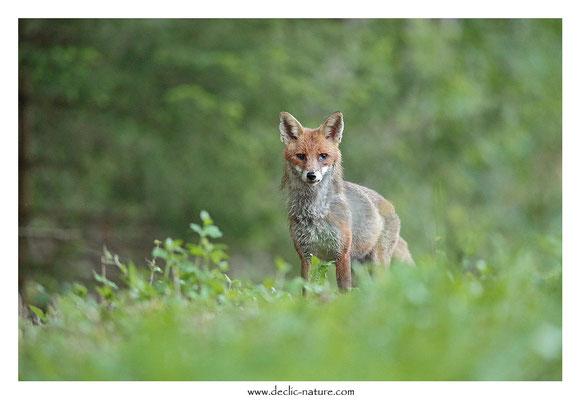 Photo Renard_141 (Renard roux -Vulpes vulpes - Red Fox)