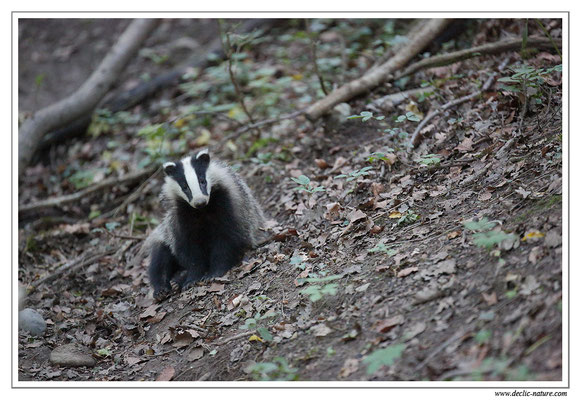 Photo_Blaireau_29 (Blaireaux - Meles meles - Eurasian Badger)