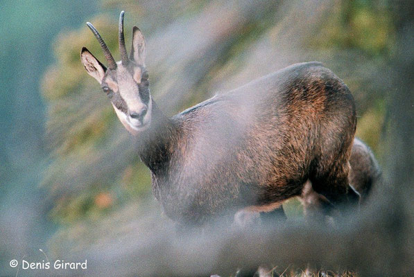 Photo Chamois_2 (Chamois - Rupicapra rupicapra )