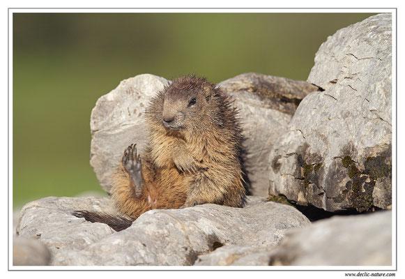 Photo Marmotte_26