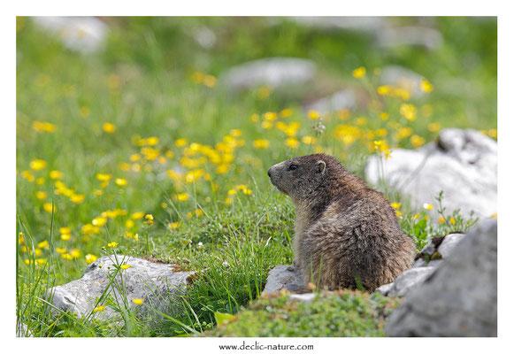 Photo Marmotte_51