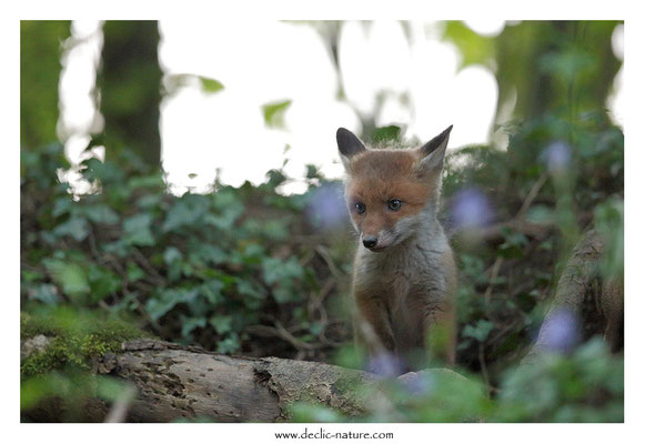 Photo Renard_135 (Renard roux -Vulpes vulpes - Red Fox)