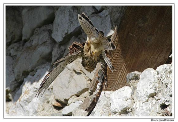Photo 1 (Faucon crécerelle - Falco tinnunculus - Common Kestrel)
