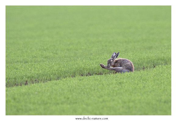 Lièvres - Lepus europaeus - Brown Hare (31)