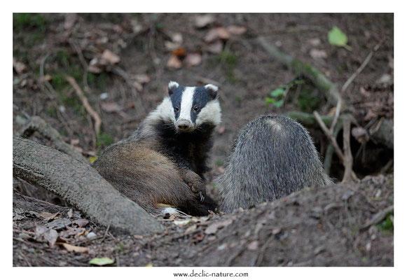 Photo_Blaireau_74 (Blaireaux - Meles meles - Eurasian Badger)