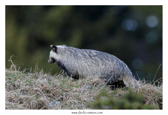 Photo_Blaireau_64 (Blaireaux - Meles meles - Eurasian Badger)