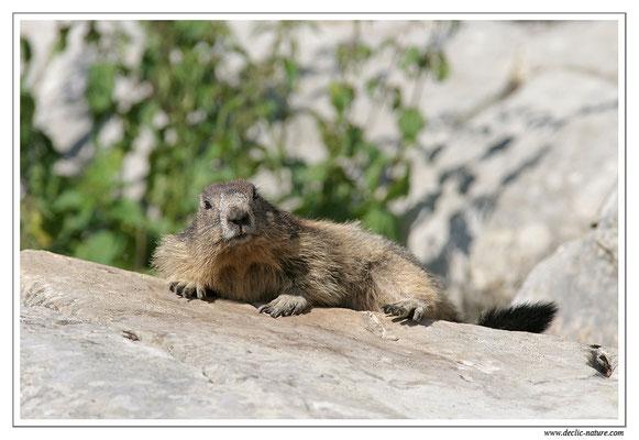 Photo Marmotte_M1