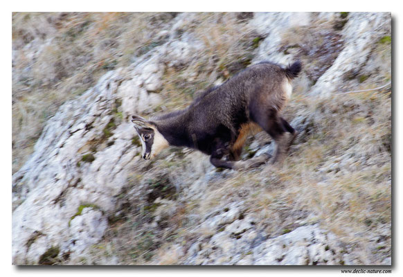 Photo Chamois_5 (Chamois - Rupicapra rupicapra )