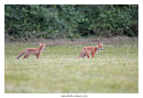 Photo Renard_157 (Renard roux -Vulpes vulpes - Red Fox)