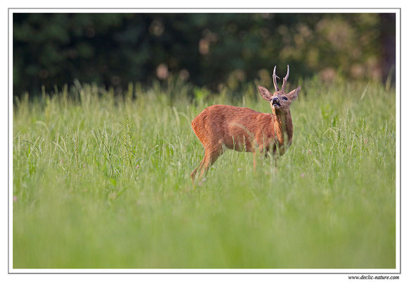 Photo Chevreuil_92 (Chevreuil - Capreolus capreolus - Roe Deer)