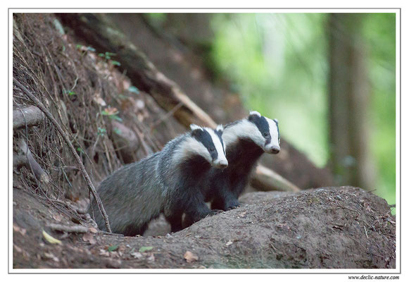 Photo_Blaireau_11 (Blaireaux - Meles meles - Eurasian Badger)