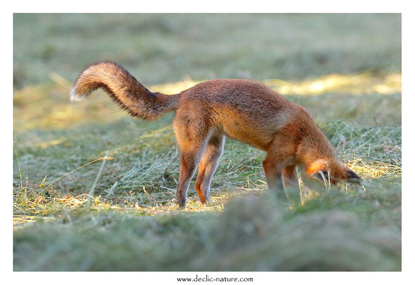 Photo Renard_194 (Renard roux -Vulpes vulpes - Red Fox)