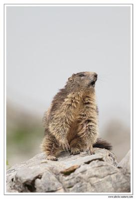 Photo Marmotte_15