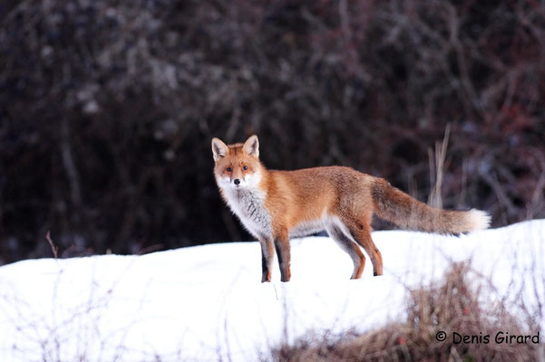 Photo Renard_6 (Renard roux -Vulpes vulpes - Red Fox)