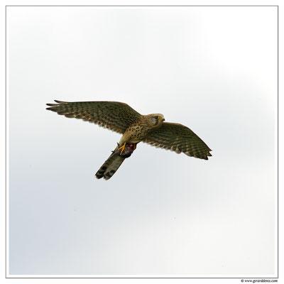 Photo 12 (Faucon crécerelle - Falco tinnunculus - Common Kestrel)