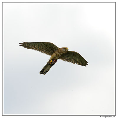 Photo 12 (Faucon crécerelle - Falco tinnunculus - Common Kestrel)