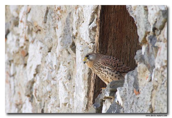 Photo 28 (Faucon crécerelle - Falco tinnunculus - Common Kestrel)