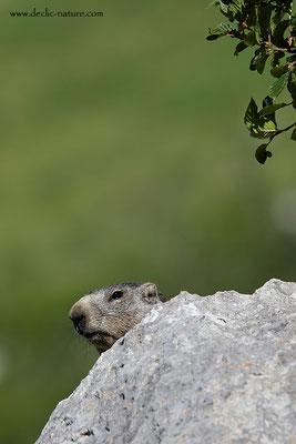 Photo Marmotte_65